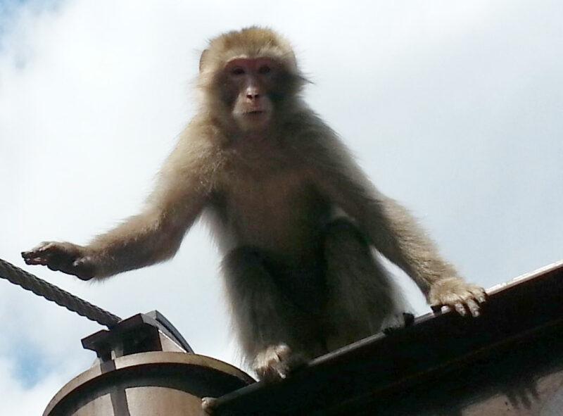 奥多摩の猿