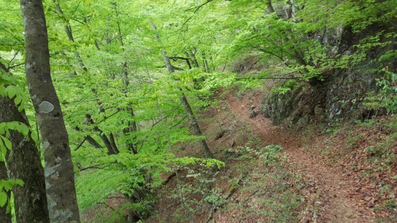 石山の路のブナ林