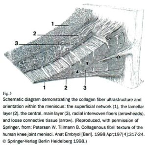 半月板の断面図